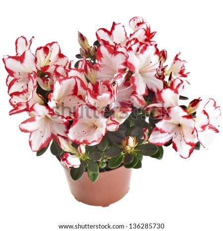 azalia flower in the pot isolated on white - stock photo