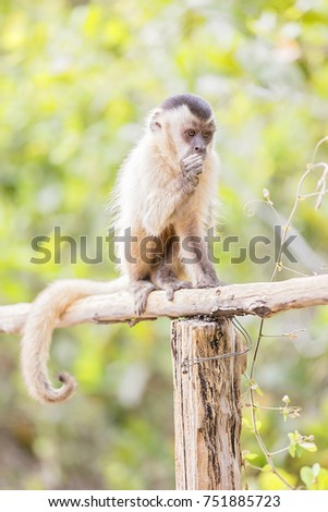 azara´s capuchin sitting on a wooden handrail