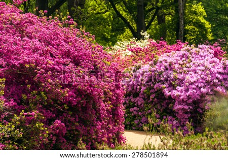 Azeleas in Spring