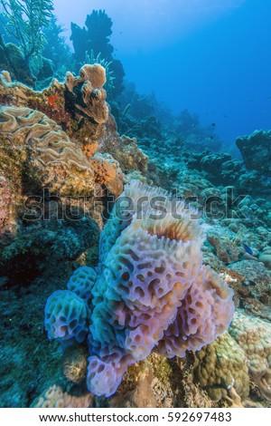 Azure Vase Sponge Callyspongia Plicifera Off Stock Photo Edit Now
