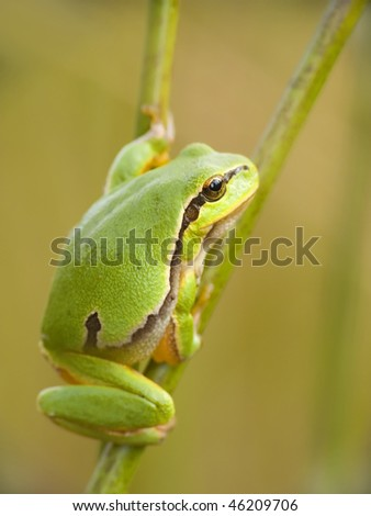 Babe green walking frog after branches