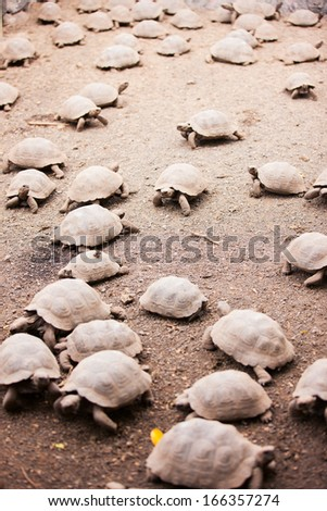 Babies of Galapagos giant tortoises largest living species of tortoise - stock photo