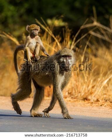 baboon - stock photo