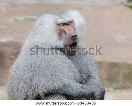Baboon - stock photo