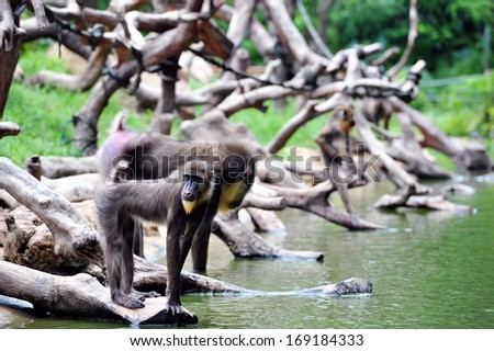 Baboon Baboons are African and Arabian Old World monkeys