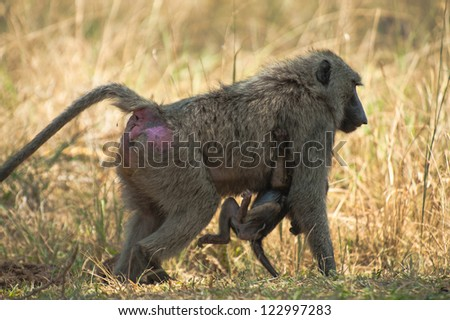 Baboon carries its baby the typical way
