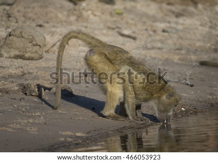 Baboon drinking from Chobe Ribver in Botswana Africa