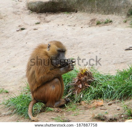 Baboon eating - stock photo