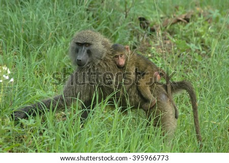 Baboon female with son  in game reserve park, Tanzania