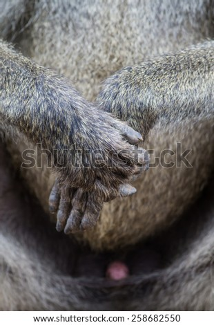 Baboon Hands Folded - stock photo