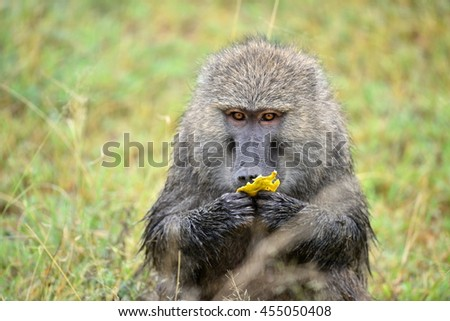 baboon in african natural park - stock photo
