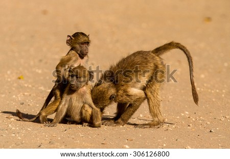 baboon in bus  - stock photo