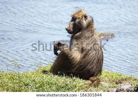 Baboon in Chobe River, Chobe National Park, Botswana, Africa - stock photo