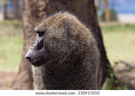 Baboon in Kenya is looking to the left