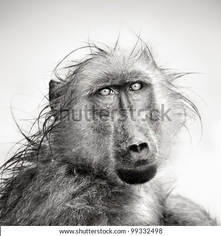 Baboon in rain (Artistic processing) - stock photo