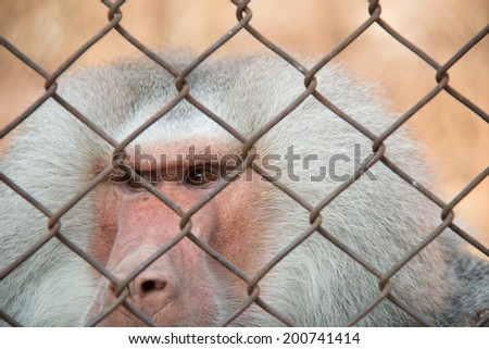 Baboon in the zoo cage