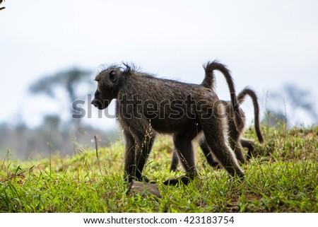 Baboon in wildness, Kruger park- South Africa - stock photo