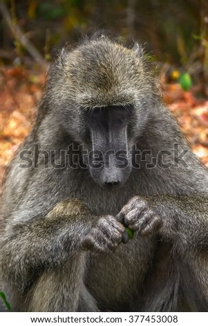 Baboon monkey in Kruger National park - South Africa - stock photo