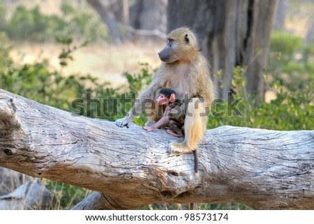 Baboon mother and baby in the Okavango Delta area of Botswana in Africa