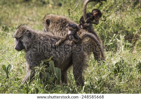 Baboon mother walking through the savannah with its baby on the back,Tarangire National Park - Wildlife Reserve in Tanzania, Africa.
