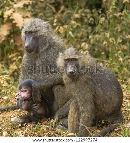 Baboon parents and a little cub, Uganda, Africa
