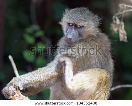 Baboon portrait in Lake Manyara National Park - Tanzania
