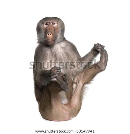 Baboon  -  Simia hamadryas in front of a white background - stock photo