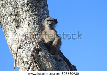 Baboon sitting in the tree
