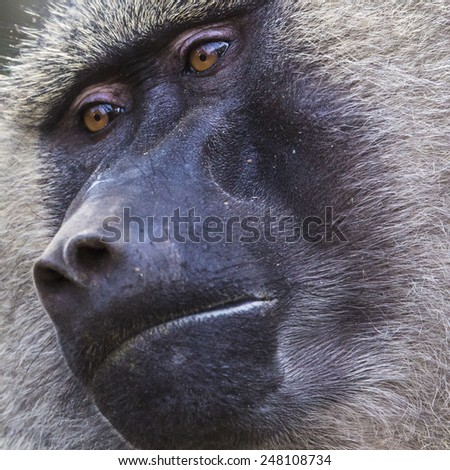 Baboon - Tarangire National Park - Wildlife Reserve in Tanzania, Africa - stock photo
