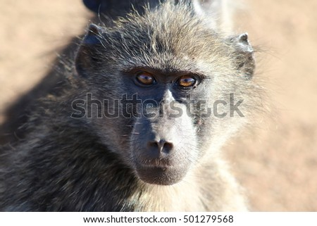 Baboon watching out