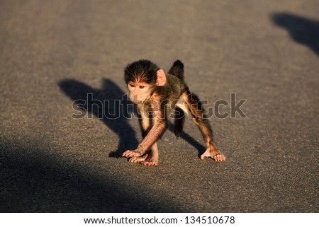Baboon with young baby sitting in road - stock photo