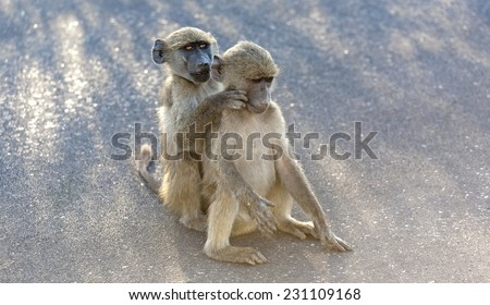 Baboons in the Kruger National Park South Africa, looking for Fleas - stock photo