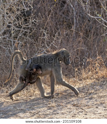 Baboons in the Kruger National Park South Africa Mother carrying baby - stock photo