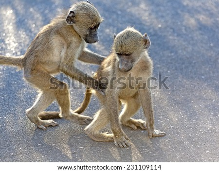 Baboons in the Kruger National Park South Africa Playing - stock photo