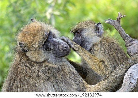 Baboons in the natural habitat. Africa. Kenya.