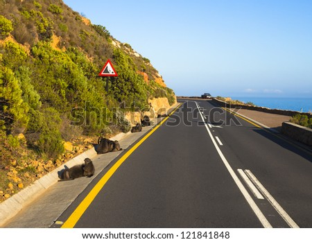 Baboons on the side of a curving seaside road - stock photo
