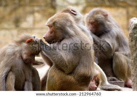 Baboons (Papio hamadryas) taking care of each other - stock photo