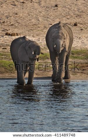 Baby African bush elephants drinking at river in Okavango delta. Okavango delta of Botswana, Africa. - stock photo