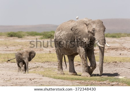 Baby African Elephant following its mother in Amboseli, Kenya - stock photo