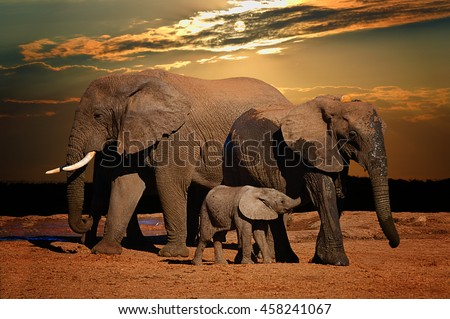 Baby african elephant (Loxodonta africana) suckling with its parents in late afternoon, Addo Elephant National Park, South Africa