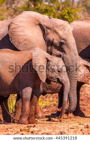 Baby African elephant with its mother - stock photo