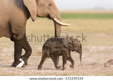 Baby African Elephant with mother in Amboseli, Kenya - stock photo