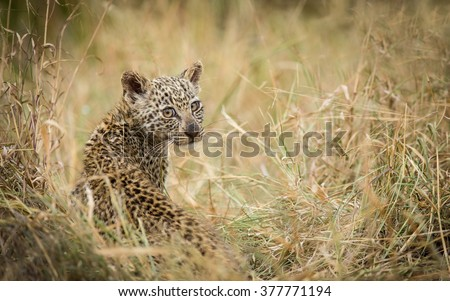 Baby African Leopard sitting in grass in Kruger Park South Africa - stock photo