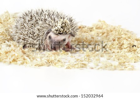 baby african pygmy hedgehog - stock photo