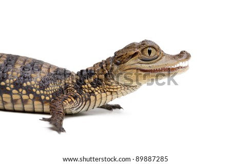 Baby alligator on white background isolated, a lot of copyspace available