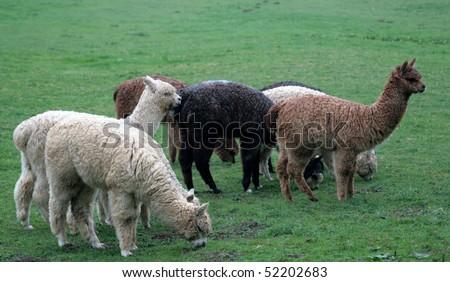 Baby alpacas in a farm in England - stock photo