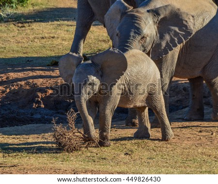 Baby and Juvenile Elephants play with a dead bush in Southern Africa - stock photo