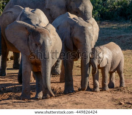 Baby and juvenile Elephants playing in Southern Africa - stock photo