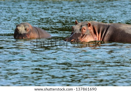 baby and mother  hippo in the water - stock photo