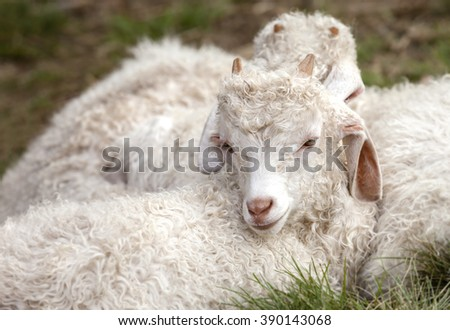 Baby angora goats sitting together - stock photo